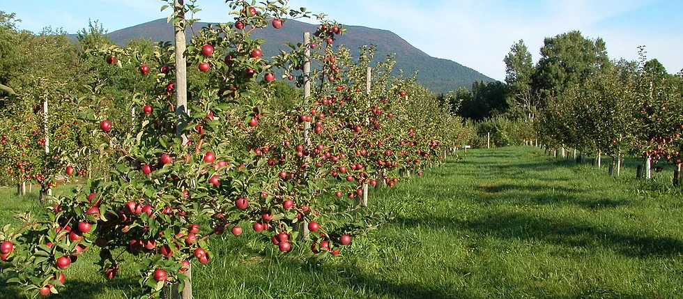 Our Apples on the Orchard