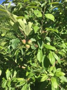 Apples - June 17 - Copy