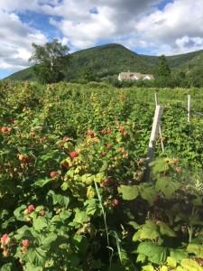 Berries July 6 - Copy