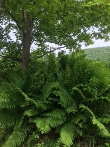 IMG_1467 - ferns - small