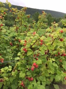 IMG_2170 berries 7 25 - Copy