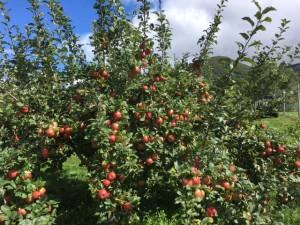 IMG_2271 - Copy honeycrisp Sept 13