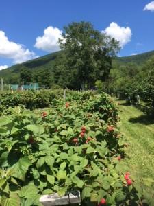 July 11 Berries - Copy